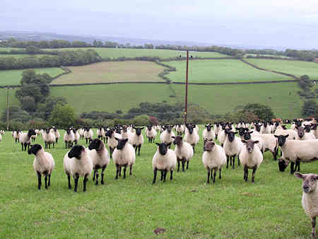 sheep waiting to be fed